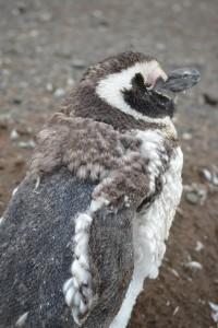 shedding_penguin